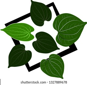 Wildbetal Leafbush, tropical leaves.Drawing a flat vector illustration for a separate background, decorated with natural green concepts and hand-drawn leaves, isolated on a white background.