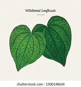 Wildbetal Leafbush, tropical leaves.Drawing vector illustration