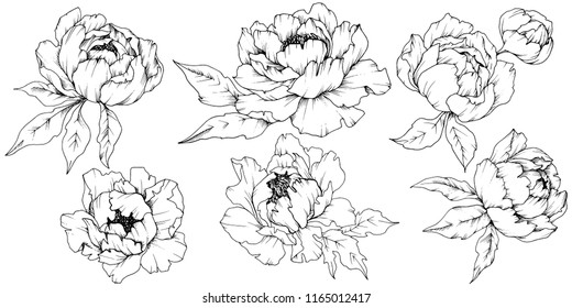 Wildflower peony in a vector style isolated. Full name of the plant: peony. Vector flower for background, texture, wrapper pattern, frame or border.