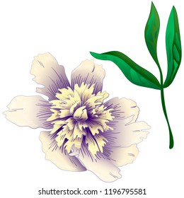 Wildflower white peony in a vector style isolated. Full name of the plant: peony. Vector flower for background, texture, wrapper pattern, frame or border.