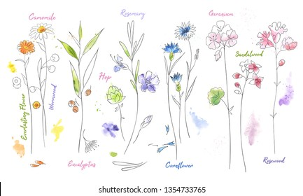 Wildflowers hand drawn watercolor set. Camomile, hop aquarelle paint drawing. Twigs and flowers with names minimalistic illustrations pack. Plants vector sketch. Botanical isolated design elements