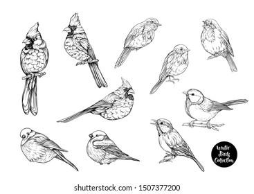 Winter birds: Tit bird, Robin bird, Cardinal bird, Bullfinch. Set of elements for design. Graphic drawing, engraving style. Vector illustration.