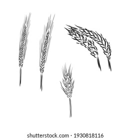 Winter wheat, wheat, vintage engraved illustration of Winter wheat isolated on a white background.