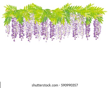 The wisteria flower vine background.