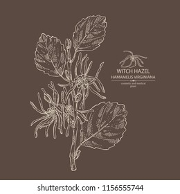 Witch hazel: witch hazel flowering branch, leaves, and hamamelis virginiana flowers. Hamamelis virginiana.Cosmetic and medical plant. Vector hand drawn illustration