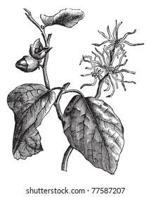 Witch hazel (Hamamelis virginiana) or winterbloom vintage engraving. Old engraved illustration of witch hazel leaves and flowers. Trousset Encyclopedia