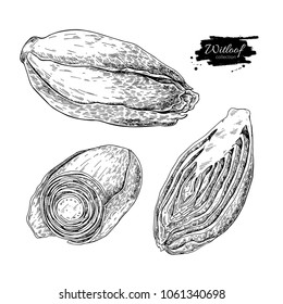 Witloof vector drawing set. Isolated hand drawn  sliced belgian endive piece. Vegetable engraved style illustration. Detailed vegetarian food sketch. Farm market product.