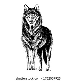 Wolf engraving illustration. Hand-drawn isolated on a white background.