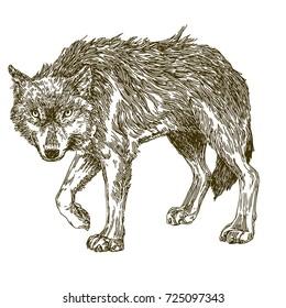 Wolf. Sketch. Vector illustration