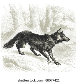 "Wolf - Vintage engraved illustration - ""Cent récits d'histoire naturelle"" by C.Delon published in 1889 France"