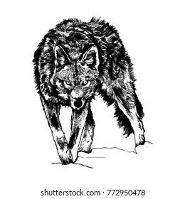 Wolf in wild life. Vector, illustration