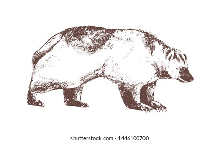 Wolverine or carcajou hand drawn with contour lines on white background. Monochrome drawing of carnivorous wild forest animal, dangerous predator. Vector illustration in antique etching style.