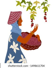 Woman with basket gather coffee beans from the bush on plantation. Coffee harvest picker, gatherer flat cartoon vector illustration isolated on white background.