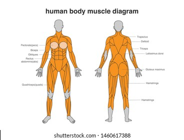 Woman body Muscles Diagram in Full Length front and Back side. Illustration about bodybuilding and Anatomy.