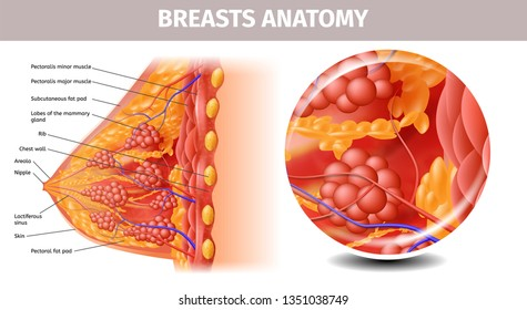 Woman Breasts Anatomy. Highly Detailed Close Up Cross Section View of Healthy Female Bust with Important Labeled Components. Aid Banner for Basic Medical l Education. Vector Realistic Illustration