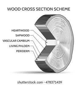 Wood cross section scheme. Trunk of tree structure slice vector illustration