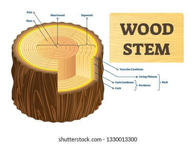 Wood stem vector illustration. Educational labeled tree rings structure. Cut cross section with rays, pith, heartwood, sapwood. Biological vascular cambium, cork, bark and living phloem examples.