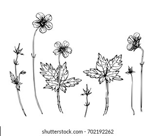Woodland geranium set. Vector ink drawn parts of flower. Flower leaves and buds