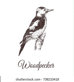 Woodpecker sketch vector illustration. A series of drawings of birds. Woodpecker hand drawing