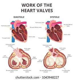 The work of heart valves, anatomy of the human heart, diastole and systole, valves of the artery