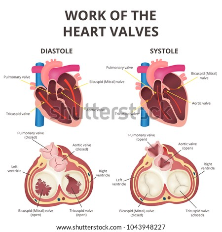 Work Heart Valves Anatomy Human Heart Stock Vector Royalty Free