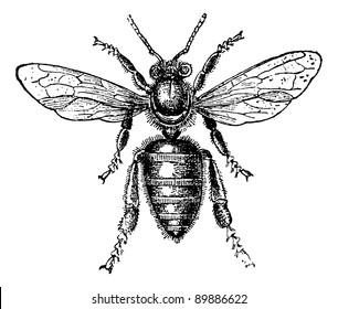 Worker Bee, vintage engraved illustration. Usual Medicine Dictionary by Dr Labarthe - 1885