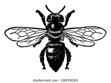 Worker Honey Bee are a subset of bees, vintage line drawing or engraving illustration.