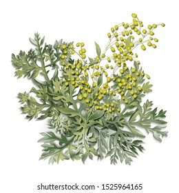 Wormwood. Artemisia absinthium. Wormwood branch, wormwood flowers and leaves . Cosmetics and medical plant. Vector illustration.