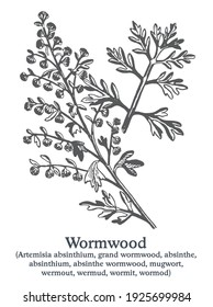 Wormwood. Vector hand drawn plant. Vintage medicinal plant sketch.