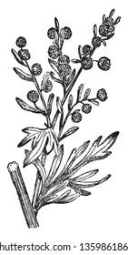 Wormwood   vintage line drawing or engraving illustration.