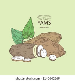 Yams: tuber of yams, leaves and slice. Vector hand drawn illustration.