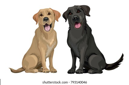 Yellow and black labrador retriever sitting isolated on white.  Young and friendly dogs.