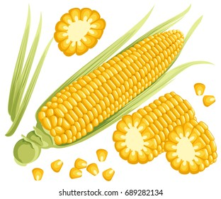 Yellow corn on the cobs, male inflorescence and leaves isolated vector illustration of sweet golden corn. Bunch of Corn. summer farm design elements Web site page and mobile app design.