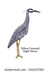 Yellow crowned night heron. Bird with dark feather. Fauna creature. Isolated flat vector illustration