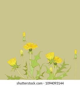 Yellow dandelion. Medicinal plant. Wildflowers Taraxacum