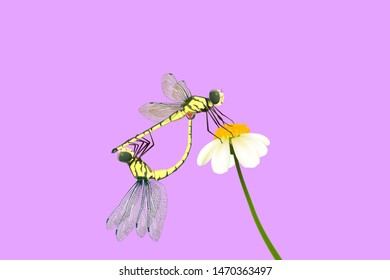 Yellow Dragonflies breed on white flower and on purple background.