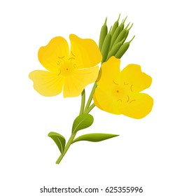 Yellow evening primrose. Sundrop, suncup or oenothera fruticose flower and leaf isolated. Botanical. Herbal medicine plant for skin and hair care, cosmetics, ointments, perfumery, label, decoration