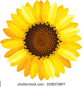 Yellow flower of sunflower on white background