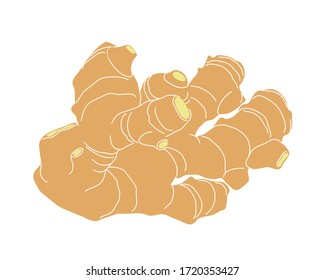 yellow fresh ginger root, culinary spice for cooking, color vector illustration with contour lines isolated on white background in clip art and hand drawn style