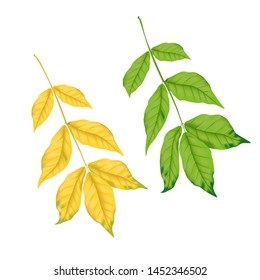 Yellow and green ash leaves. Autumn leaves on white background for your design