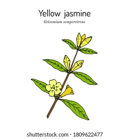 Yellow jessamine, Carolina jasmine, evening trumpetflower, woodbine (Gelsemium sempervirens), medicinal plant, state flower of South Carolina. Hand drawn botanical vector illustration
