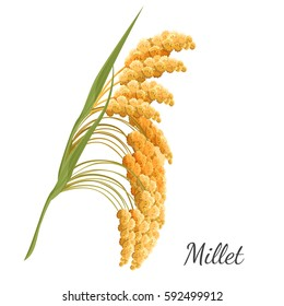 Yellow millet isolated on white. Realistic vector illustration of cereal seed plant with leaves. Vegetarian or vegan healthy diet nutrition food and porridge ingredient