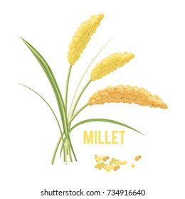 Yellow millet isolated on white background.