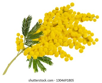 Yellow mimosa branch flower. Acacia symbol of love in Italy. Isolated on white vector illustration