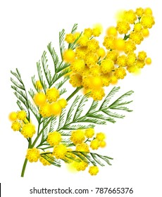 Yellow mimosa flower branch symbol of spring isolated on white. Vector nature illustration
