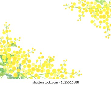 Yellow mimosa flowers on white background