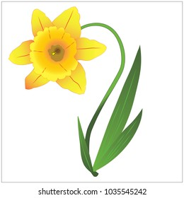 Yellow Narcissus with green leaves. Vector illustration