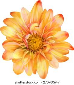 Yellow orange chrysanthemum flower, Spring flower.Isolated on white background. Vector golden-daisy