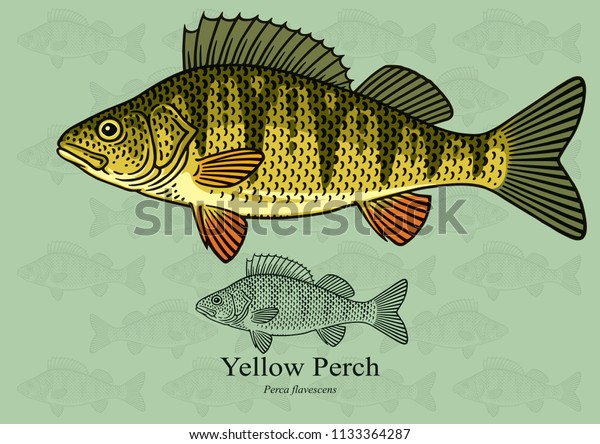 Yellow Perch. Vector illustration with refined details and optimized stroke that allows the image to be used in small sizes (in packaging design, decoration, educational graphics, etc.)
