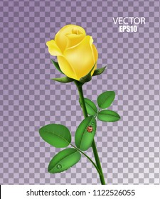 Yellow rose isolated with morning dew and ladybug on transparent background, flower gift, beautiful garden flower, rose bud, 3d design. Vector illustration. EPS10